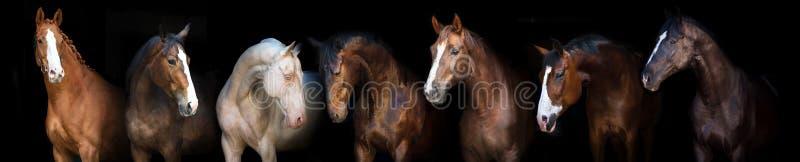 Retrato dos cavalos no preto fotos de stock royalty free