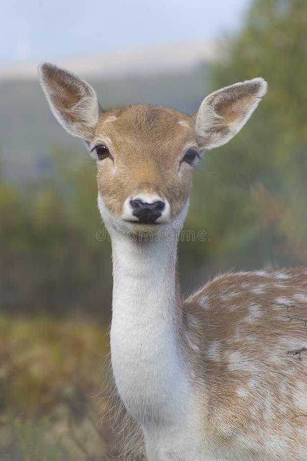 Retrato dos cervos fotos de stock royalty free