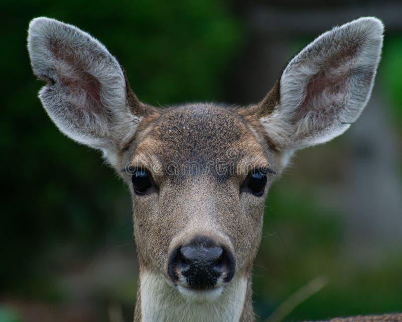 Retrato dos cervos fotos de stock