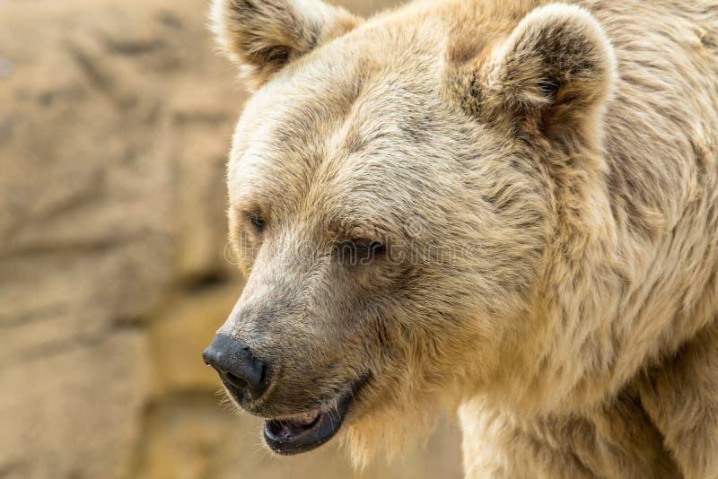 Retrato dourado do urso imagens de stock