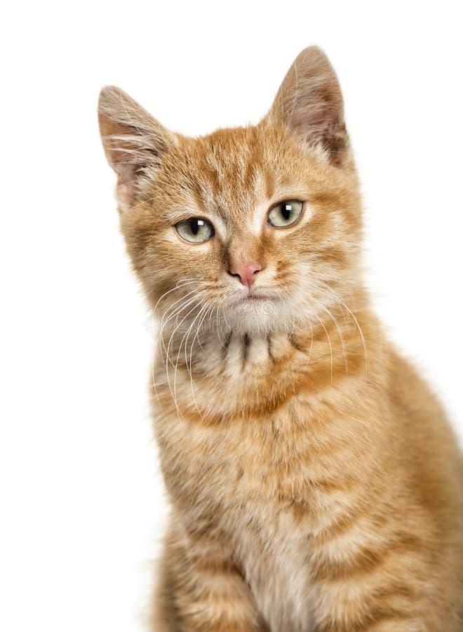 Retrato en un gato del jengibre, fondo blanco del primer foto de archivo