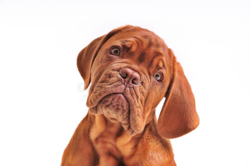 Retrato encantador do filhote de cachorro imagem de stock royalty free