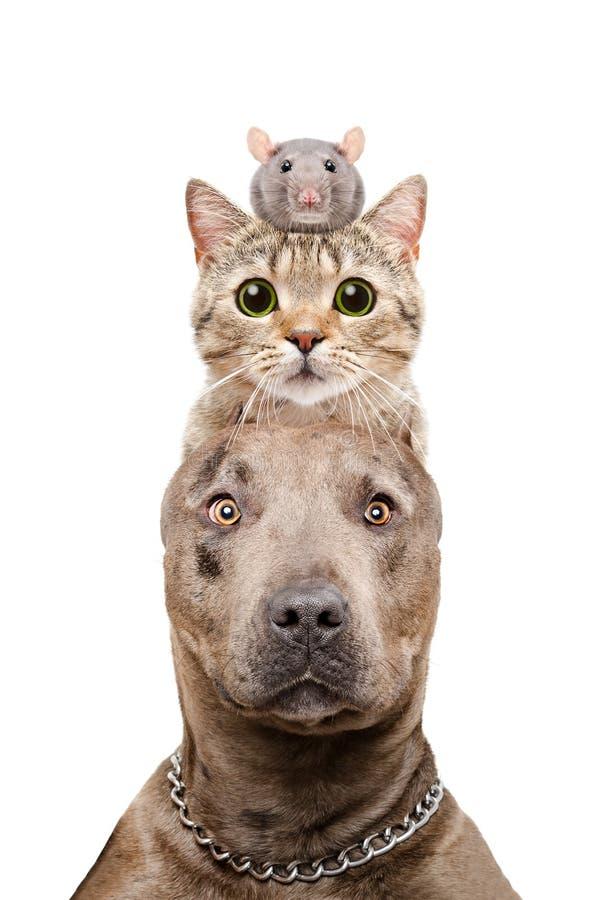 Retrato engraçado de um cão, de um gato e de um rato do pitbull imagens de stock