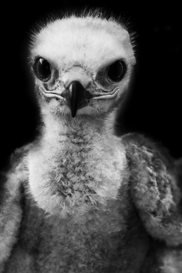 Retrato engraçado de um pintainho da águia do estepe Rebecca 36 imagens de stock royalty free