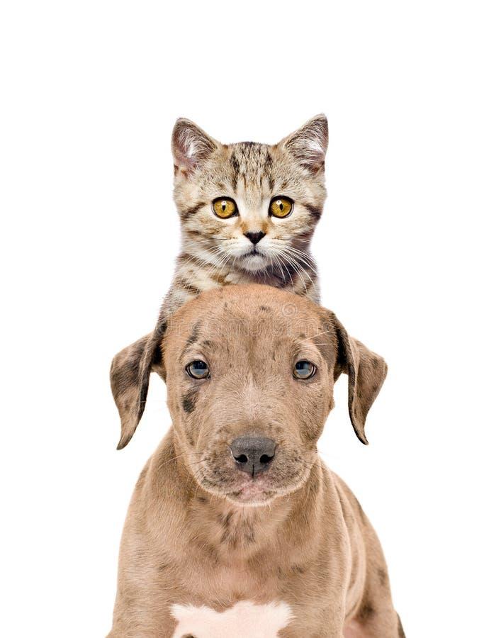 Retrato engraçado de um reto escocês do cachorrinho e do gatinho do pitbull imagem de stock