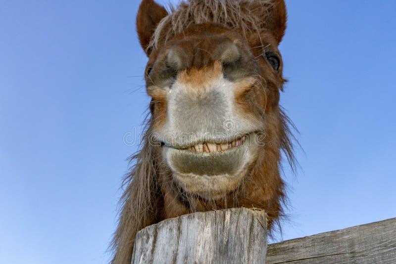 Retrato engraçado do cavalo da cara imagens de stock