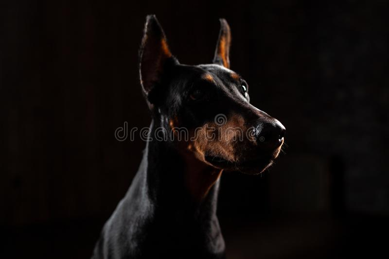 Retrato engraçado do close-up do cão do Doberman com olhar fixo grande do nariz in camera in camera no fundo preto isolado imagem de stock royalty free