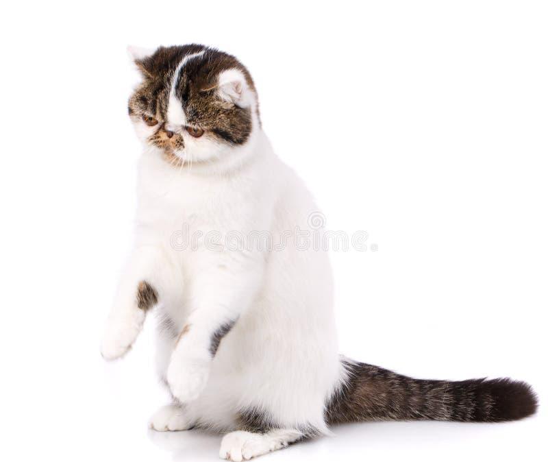 Retrato engraçado do close-up do gato exótico branco imagem de stock royalty free