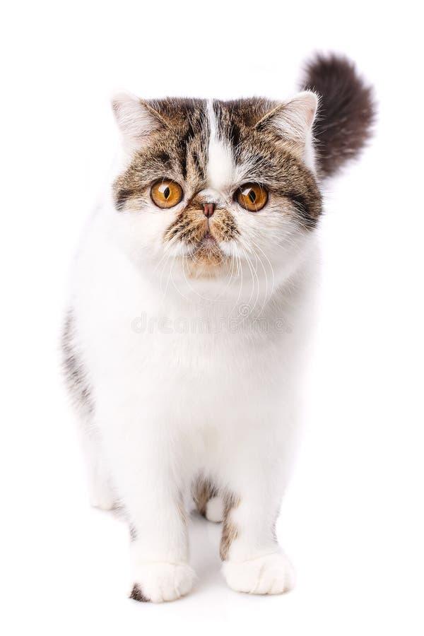 Retrato engraçado do close-up do gato exótico branco fotos de stock royalty free