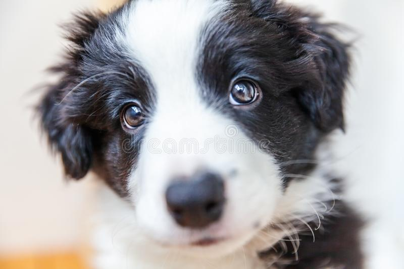 Retrato engraçado do estúdio do cão de cachorrinho smilling bonito border collie no fundo branco fotos de stock royalty free