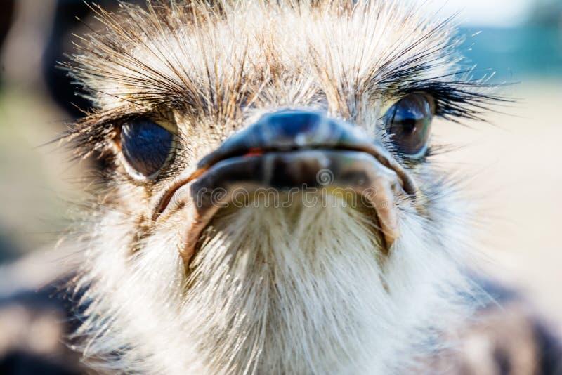 Retrato engraçado selvagem da avestruz imagens de stock royalty free