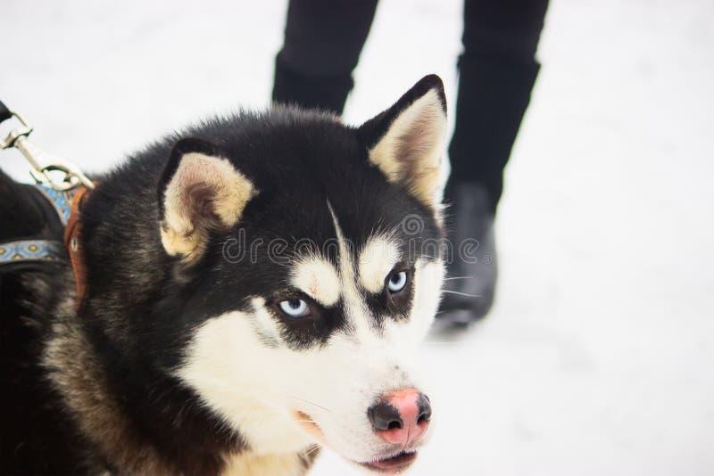 Retrato enojado del invierno del perro del husky siberiano imagen de archivo libre de regalías