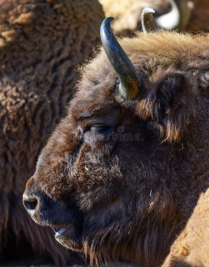 Retrato enorme do bisonte americano fotos de stock