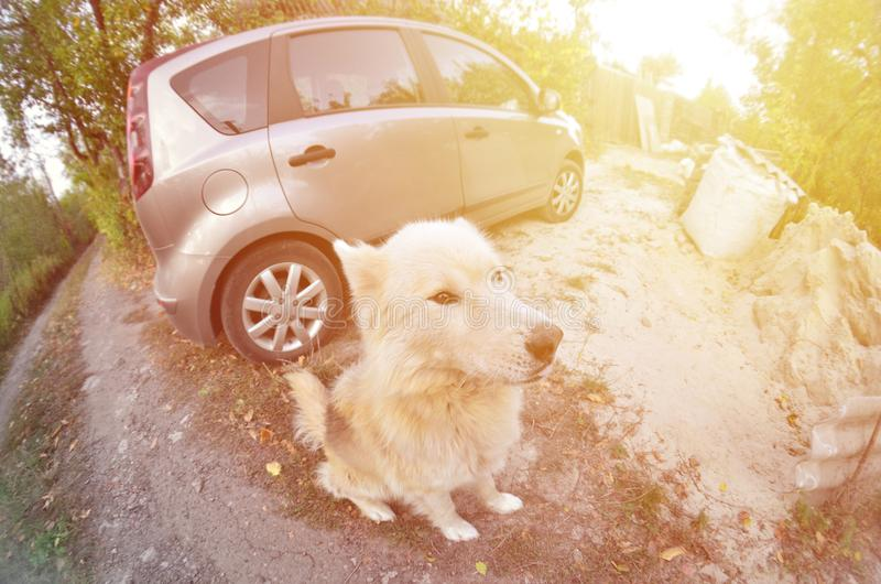 Retrato entonado del perro fornido del samoyedo siberiano blanco con heterochromia un fenómeno cuando los ojos tienen diversos co fotos de archivo libres de regalías
