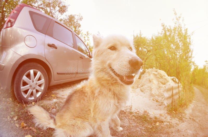 Retrato entonado del perro fornido del samoyedo siberiano blanco con heterochromia un fenómeno cuando los ojos tienen diversos co fotos de archivo