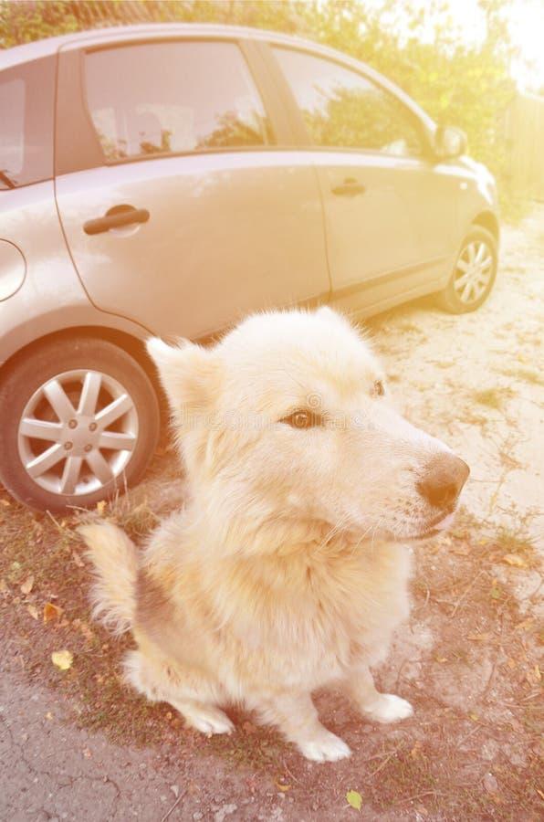 Retrato entonado del perro fornido del samoyedo siberiano blanco con heterochromia un fenómeno cuando los ojos tienen diversos co foto de archivo