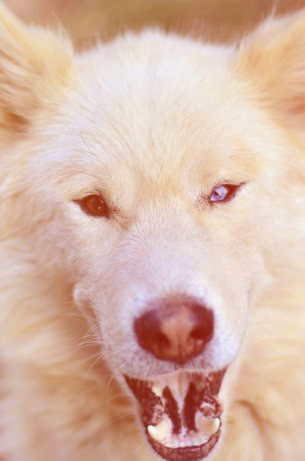 Retrato entonado del perro fornido del samoyedo siberiano blanco con heterochromia un fenómeno cuando los ojos tienen diversos co foto de archivo libre de regalías