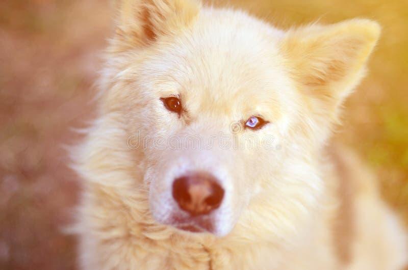 Retrato entonado del perro fornido del samoyedo siberiano blanco con heterochromia un fenómeno cuando los ojos tienen diversos co imagen de archivo