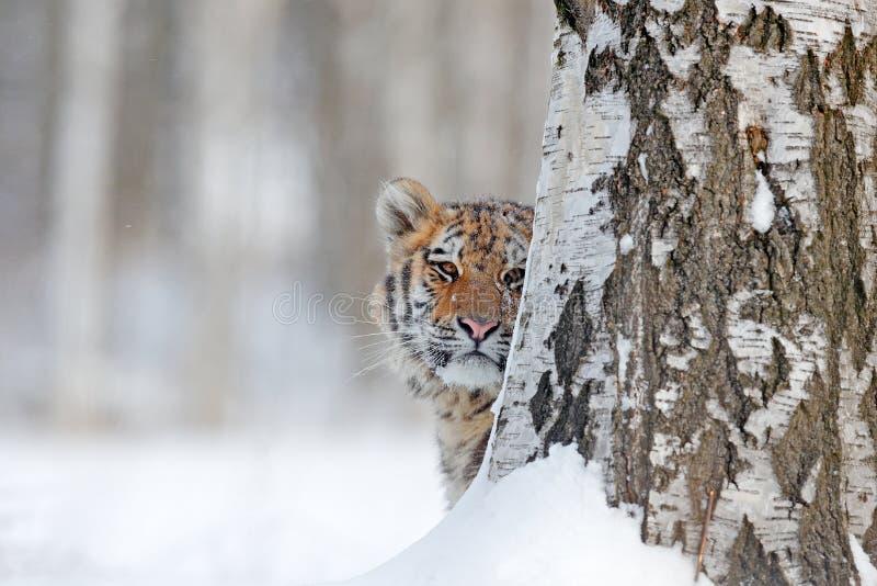 Retrato escondido da cara do tigre Tigre na natureza selvagem do inverno Tigre de Amur que corre na neve Cena dos animais selvage fotografia de stock royalty free