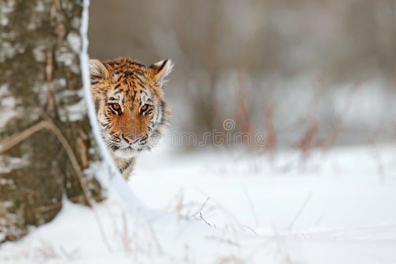 Retrato escondido do gato selvagem Tigre Siberian na queda da neve, árvore de vidoeiro Tigre de Amur que senta-se na neve Tigre n foto de stock royalty free