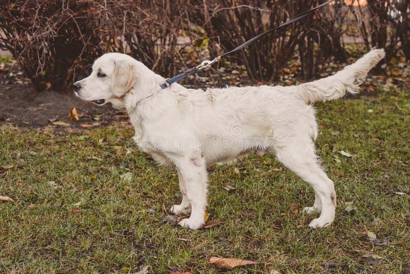 Retrato estando do perfil de um cão tenso do golden retriever imagem de stock