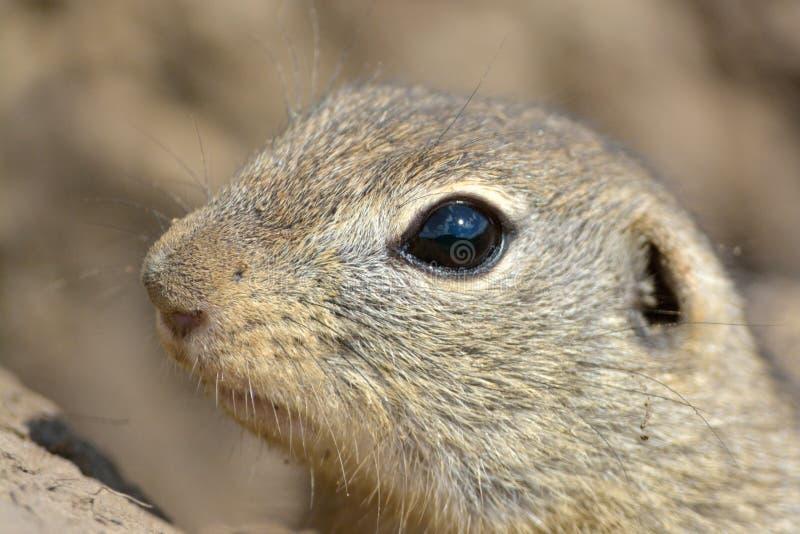 Retrato europeu do esquilo à terra na primavera imagem de stock