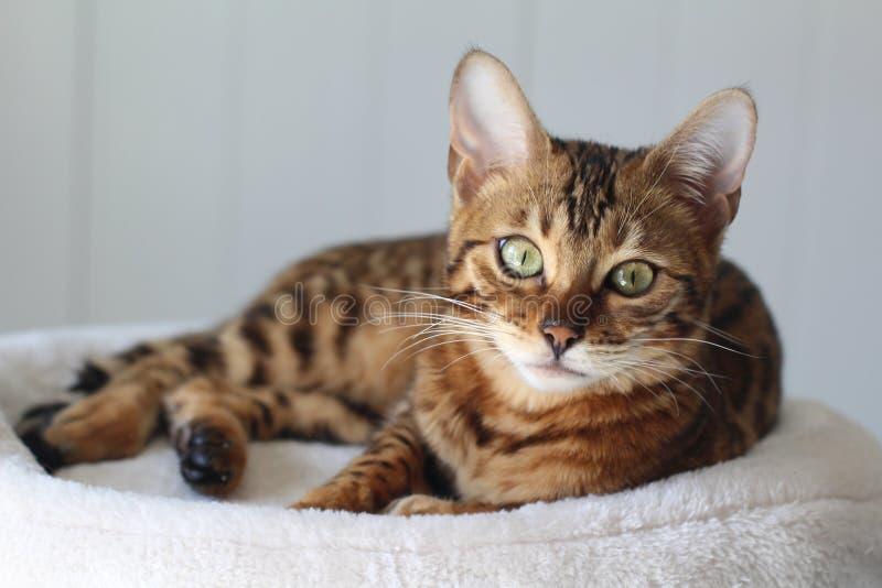 Retrato exótico hermoso del gato foto de archivo
