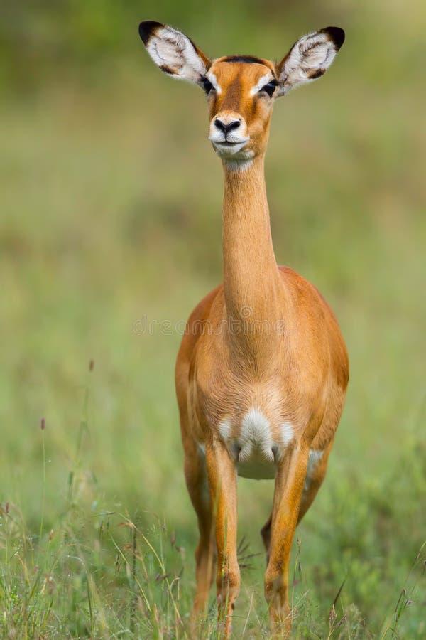 Retrato fêmea da impala foto de stock