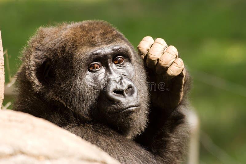 Retrato fêmea do gorila fotografia de stock royalty free