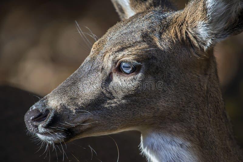 Retrato facial atado branco do close up do perfil dos cervos imagem de stock royalty free