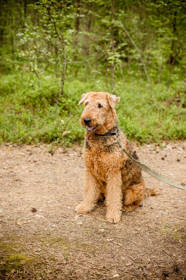 Retrato feliz lindo de Airedale Terrier en la fotografía de un perro - terrier raro del retrato del bosque del verano del airedal fotos de archivo