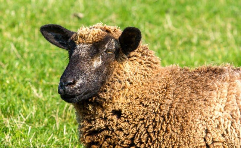Retrato femenino de las ovejas fotos de archivo libres de regalías