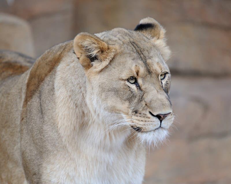 Retrato femenino del león imagen de archivo libre de regalías
