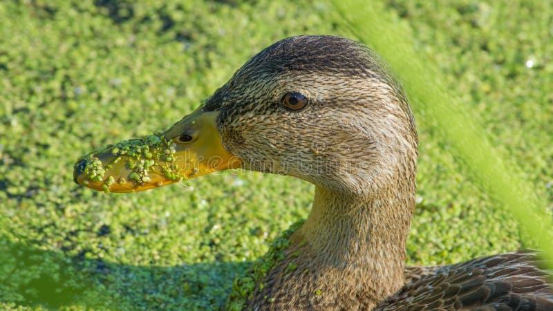 Retrato femenino del pato silvestre en aguas tranquilas pacíficas en el terreno de aluvión del río de Minnesota en la fauna nacio fotos de archivo