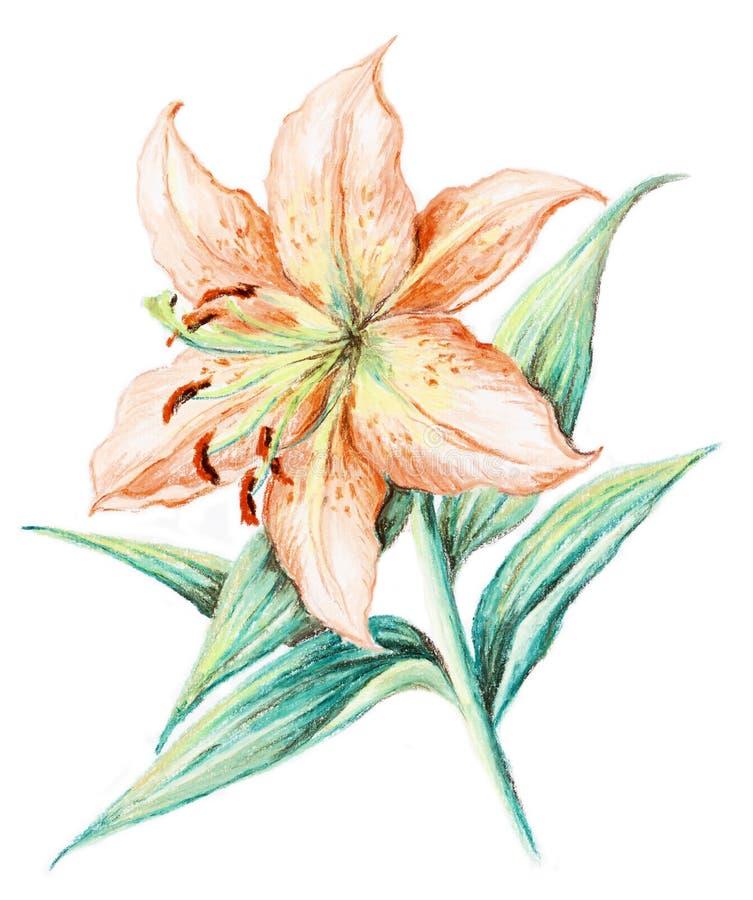 Retrato, flor de um lírio ilustração do vetor