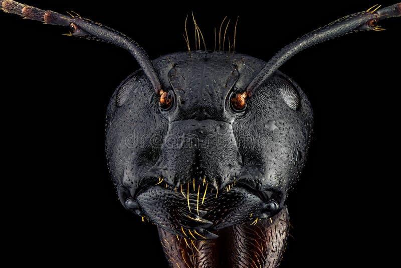 Retrato frontal lleno de una hormiga imagenes de archivo