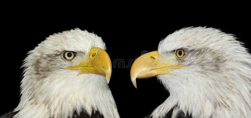 Retrato gemelo de las águilas calvas aisladas en negro imagen de archivo libre de regalías