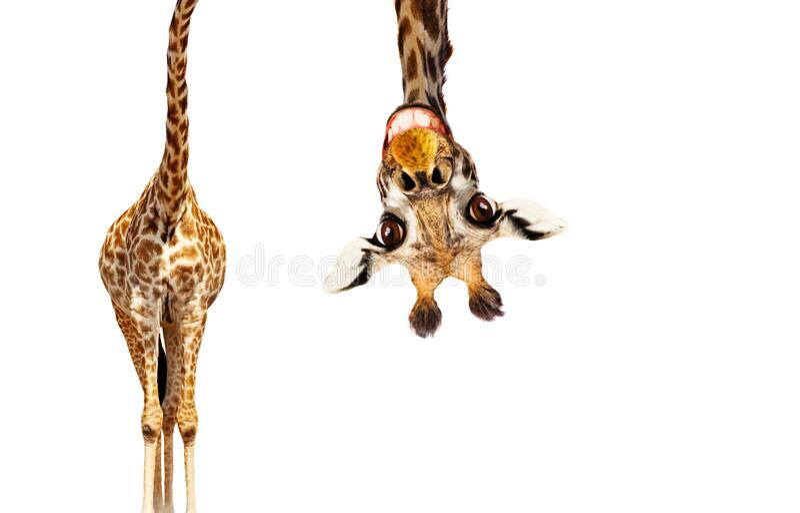 Retrato giro, de cabeça para baixo, de girafa em branco fotos de stock