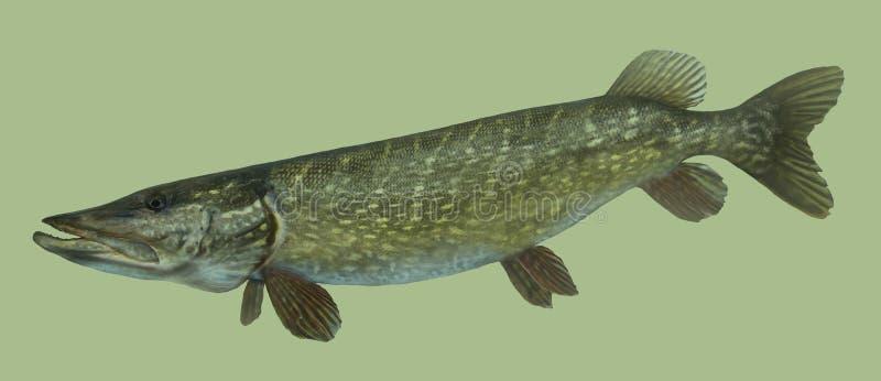 Retrato grande da pesca do pique ilustração stock