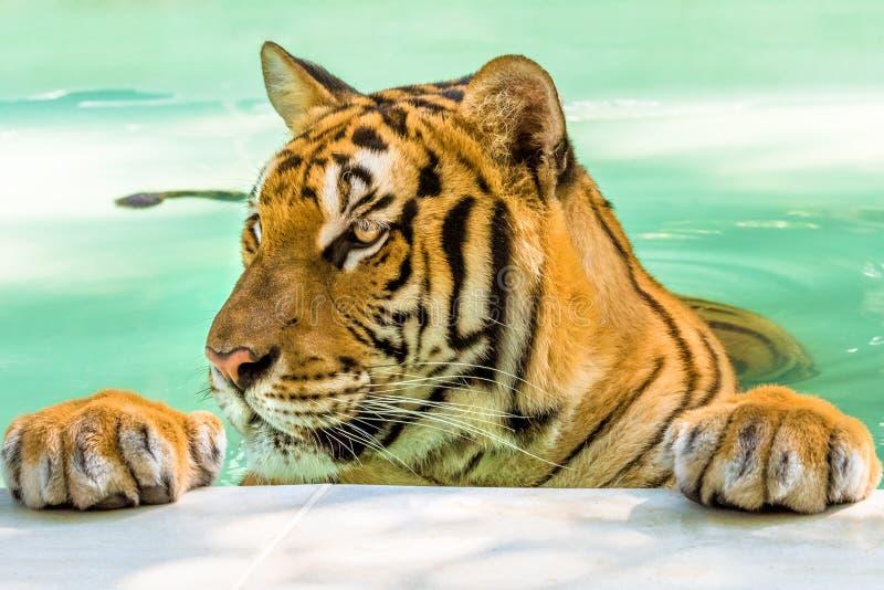 Retrato grande del tigre fotos de archivo libres de regalías