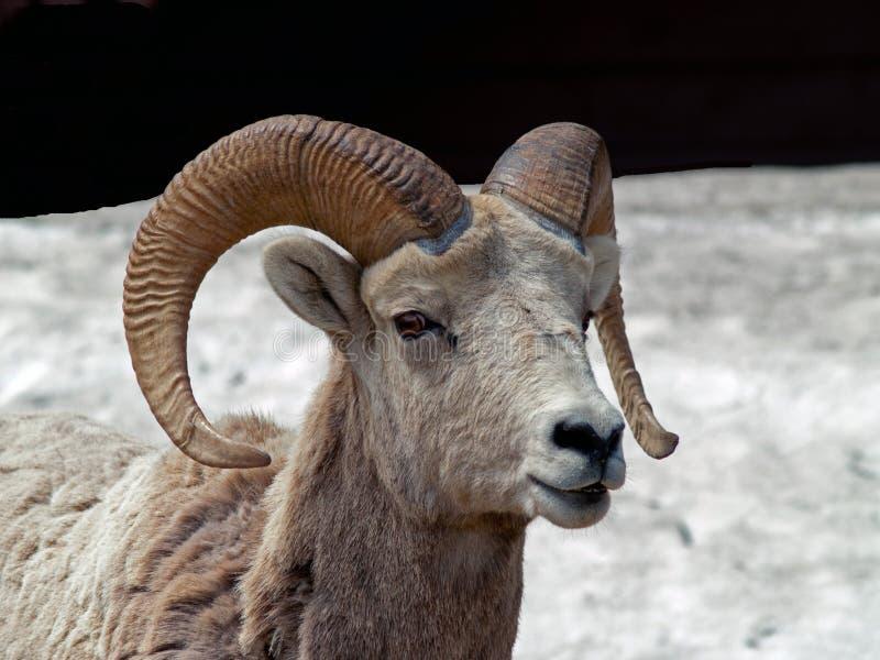 Retrato grande dos carneiros do chifre foto de stock royalty free
