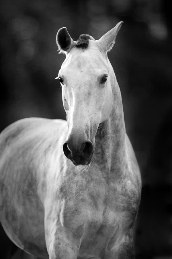 Retrato gris del caballo foto de archivo libre de regalías