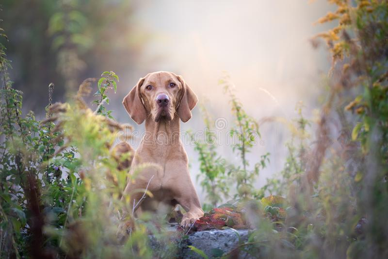 Retrato húngaro del perro del vizsla del otoño en sol de la mañana fotos de archivo