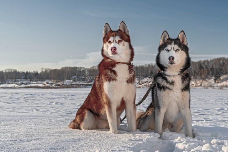 Retrato hermoso de los perros fornidos de los ojos amarillos y azules en fondo del invierno Fondo soleado de la nieve fotografía de archivo libre de regalías