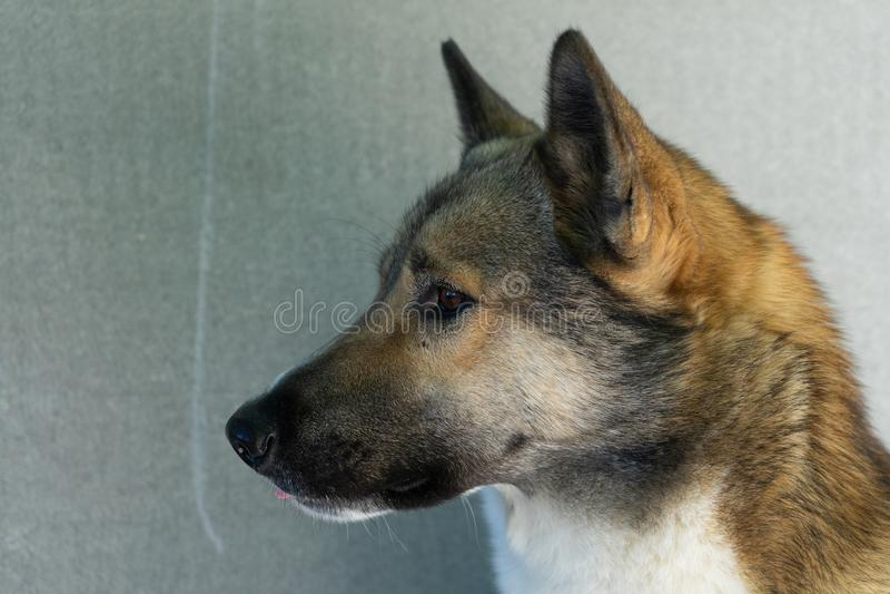 Retrato hermoso de un perro Laika siberiano Perro esquimal hermoso El perro es mejor amigo del ` s del hombre imagenes de archivo