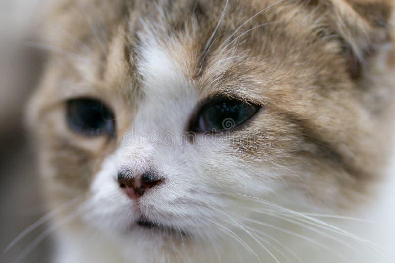 Retrato hermoso del gato escocés del doblez bicolor fotos de archivo