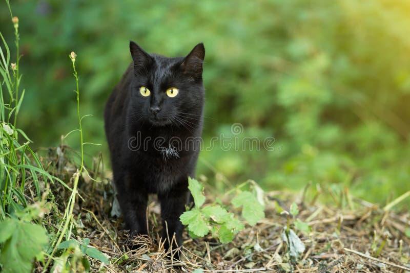 Retrato hermoso del gato negro de Bombay con los ojos del amarillo y mirada atenta en hierba verde en naturaleza imagen de archivo libre de regalías