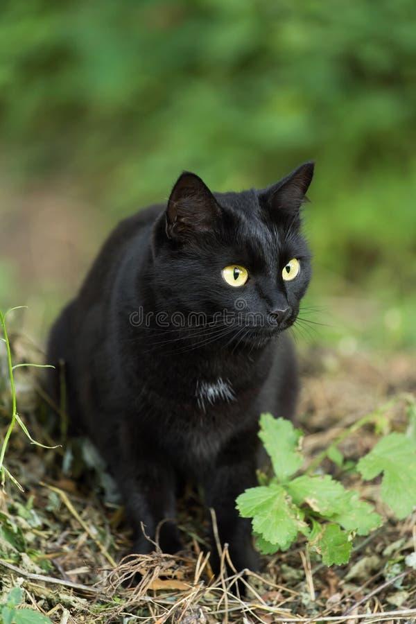 Retrato hermoso del gato negro de Bombay con los ojos del amarillo y mirada atenta en hierba verde en naturaleza imágenes de archivo libres de regalías