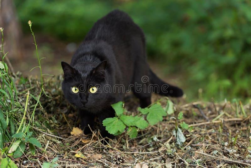 Retrato hermoso del gato negro de Bombay con los ojos del amarillo y mirada atenta en hierba verde en naturaleza fotografía de archivo