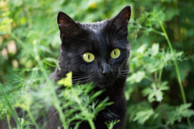 Retrato hermoso del gato negro de Bombay con los ojos amarillos y el primer atento de la mirada, macro fotos de archivo